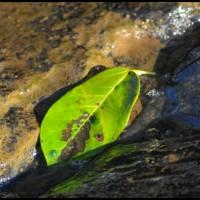 folha na água da Cachoeira Tamanduá, Pedra Bela