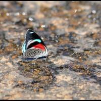 borboleta em Pedra Bela (SP), Cachoeira Tamanduá