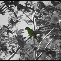 papagaio (preto branco e cor)