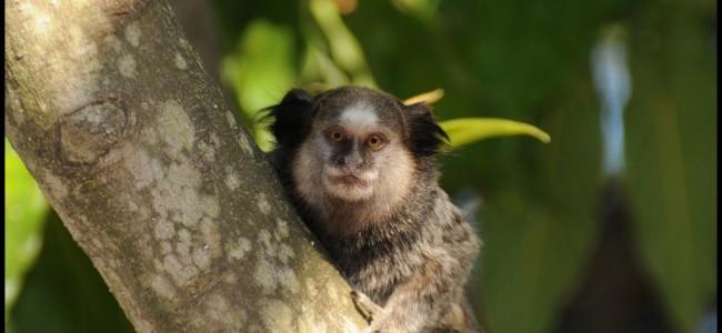 macaco em Campinas