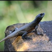 lagarto em Foz do Iguaçu, Paraná