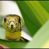 cobra Caninana (Spilotes pullatus)