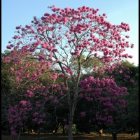 Ipê-rosa (tabebuia impetiginosa)