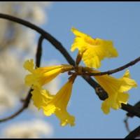 Ipê-amarelo e Ipê-branco (Tabebuia roseoalba)