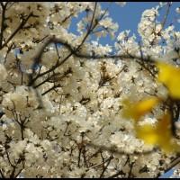 Ipê-branco (Tabebuia roseoalba), conhecida como planta do mel - e Ipê-amarelo