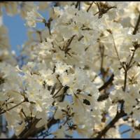 Ipê-branco (Tabebuia roseoalba), conhecida como planta do mel