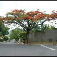 flamboyant (Delonix regia), também conhecida por flor-do-paraíso, pau-rosa, flamboaiã e acácia-rubra
