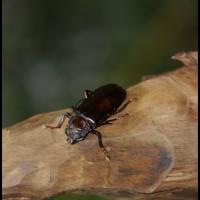 besouro em PETAR, São Paulo