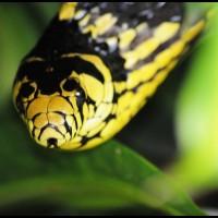 cobra Caninana (Spilotes pullatus) em PETAR, São Paulo