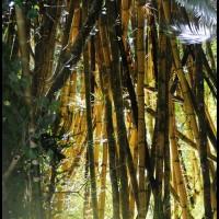 bambu na floresta em PETAR, São Paulo